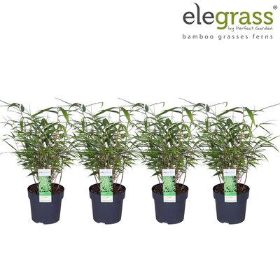 Fargesia bamboe(FARUFA14)