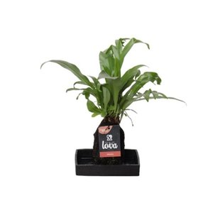 Lova Microsorum Punctatum Green Flame - Life on lava - hydrocultuur - BOXplanten - Boeketbinderij.be