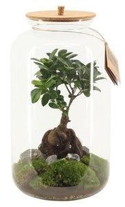 Terrarium Saturnus Large - Ficus - BOXplant - Boeketbinderij.be