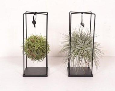 Tillandsia Duo Design - per 2 verschillende stuks - BOXplanten - Boeketbinderij.be