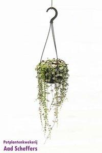 Mix Erwtenplantje en Chinees Lantaarnplantje(Senecio -Ceropegia Mix)