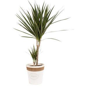 Dracaena Marginata in witte chipwood pot(Dracaena Marginata)