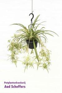 Graslelie(Chlorophytum comosum)