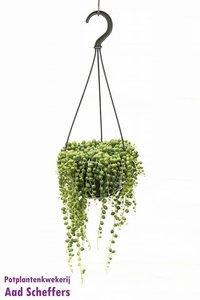 Erwtenplantje(Senecio Rowleyanus)