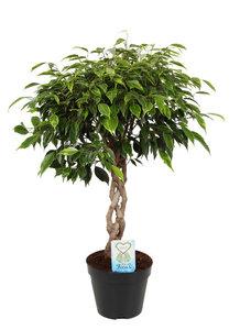 Ficus Anastasia met gevlochten stam(Ficus Anastasia)