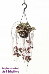 Moederplant 'tricolor'(Saxifraga Stolonifera 'Tricolor')