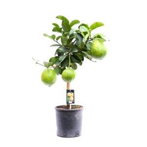 Citrus Maxima op stam(Maxima)