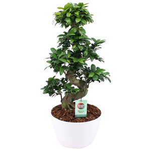 Ficus Gin Seng Bonsai met Wit Keramiek(FGS25WI)