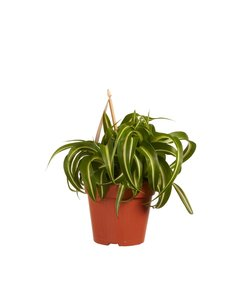 Chlorophytum comosum Bonnie(BON12)