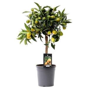 Citrus Kumquat(KUM P15)
