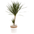 Dracaena Marginata in witte chipwood pot(Dracaena Marginata)_