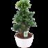 Ficus Gin Seng Bonsai met Wit Keramiek(FGS25WI)_